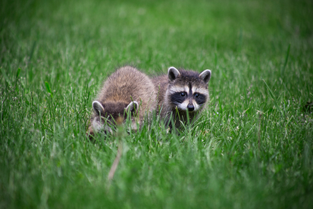 wild baby racoon foraging in the grass Stock Photo