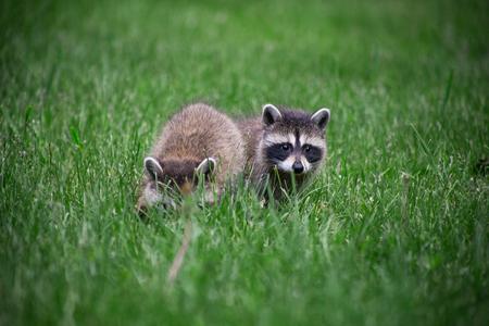 wild baby racoon foraging in the grass Standard-Bild