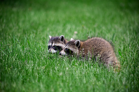 two baby racoon walking in the grass