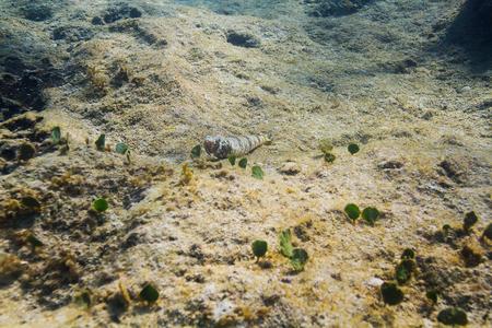 Nes Longus on the bottom of a reef Foto de archivo
