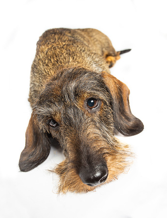 Wire haired dachshund sleeping on a isolated on a white background