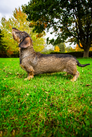 Wire haired weiner dog in the grass during fall