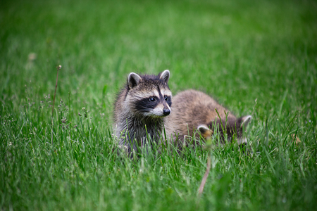 two baby small racoon in green grass, looking around