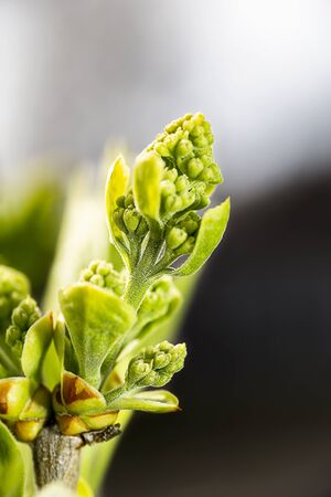 Close up of a lilac flower bud that has yet to blossom into a flower