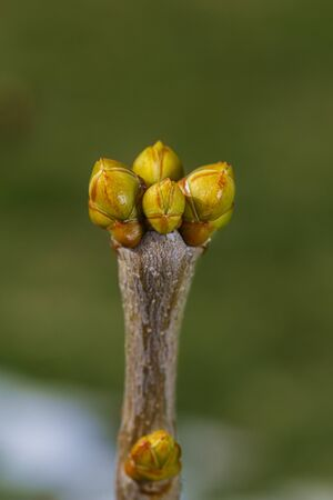 Close of unopen lilac buds against a green background