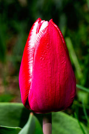 macro shot of a red tulip with a white rim on it's petal Stockfoto