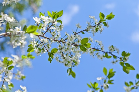 Blossoming cherry and the dark blue sky photo