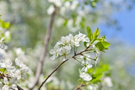 Blossoming cherry and the dark blue sky Stock Photo