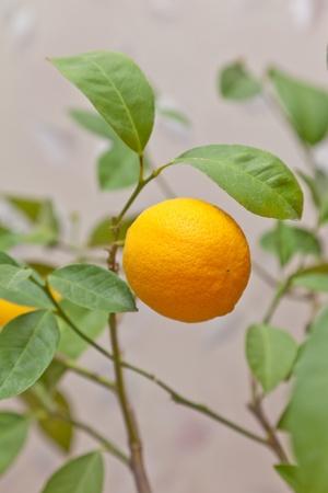 Ripe lemon on a branch photo