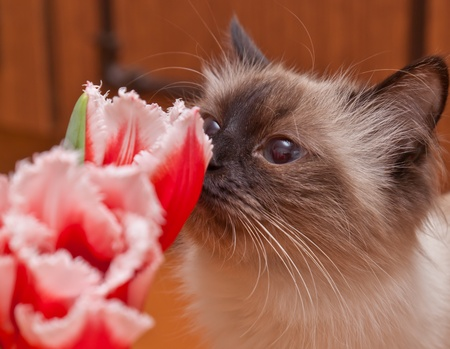 The cat smells a tulip Stock Photo