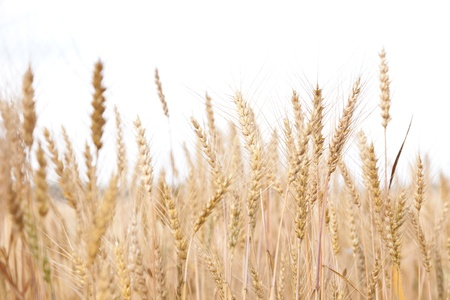grain fields: The ripened rye
