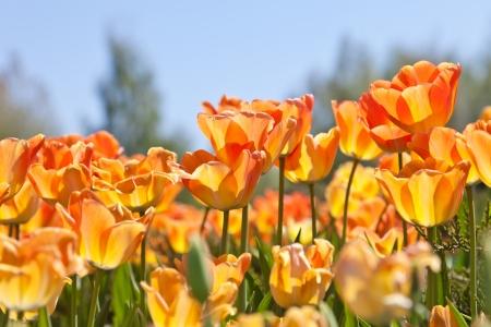 blue tulip: Yellow tulips and the dark blue sky Stock Photo