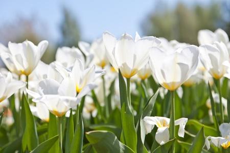 White tulips and the dark blue sky
