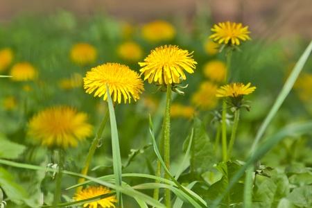 Yellow dandelions in a garden