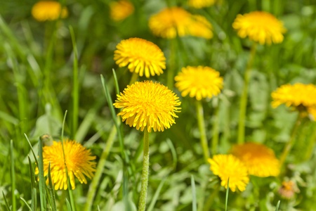 Yellow dandelions in a garden