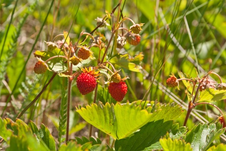 wild strawberry: Red wild strawberry on a branch Stock Photo