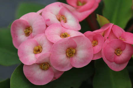 A flower is pink,  it beautiful is a lot of,  the people likes to grow is the garden tree within house area.