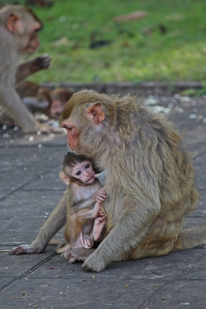 Monkeys,  they are in KUM PHA WA PI park,  at UDONTHANI province THAILAND.