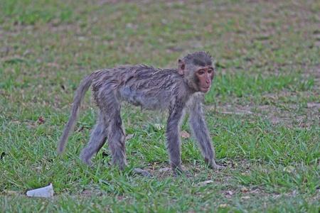 Animal,  a monkey is walking,  it lives in KUM PHA WA PI park,  at UDONTHANI province THAILAND.