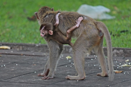 Animals,  baby monkey snuggles to its mother,  they are in KUM PHA WA PI park,  at UDONTHANI province THAILAND.