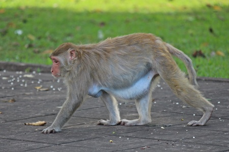 Animal,  a monkey is waiting from people who see it,  it lives in KUM PHA WA PI park,  at UDONTHANI province THAILAND. Stock Photo