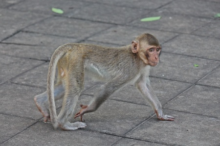 Animal,  a monkey is waiting from people who see it,  it lives in KUM PHA WA PI park,  at UDONTHANI province THAILAND. Stok Fotoğraf