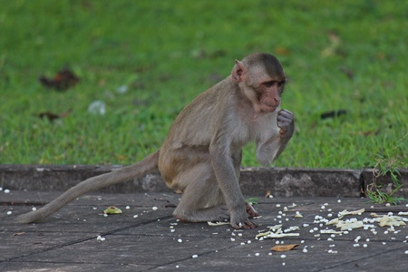 Animal,  a monkey sits on ground,  waits the food from people who see it,  it lives in KUM PHA WA PI park,  at UDONTHANI province THAILAND. Stok Fotoğraf