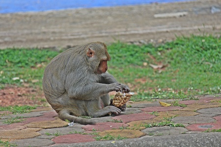 Animal,  a monkey sits on ground,  waits the food from people who see it,  it lives in KUM PHA WA PI park,  at UDONTHANI province THAILAND. Stock Photo