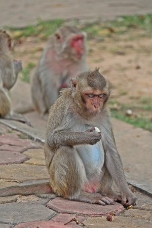 Animal,  a monkey sits on ground,  waits the food from people who see it,  it lives in KUM PHA WA PI park,  at UDONTHANI province THAILAND. 版權商用圖片
