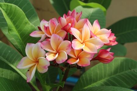 beautiful flower that Thai  called LEE-LA-WA-DEE 写真素材