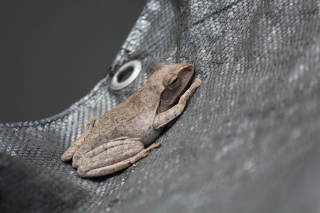 TREE-FROG,  it is on black cloth,  be careful dangerous around,  Thai people call PAT.