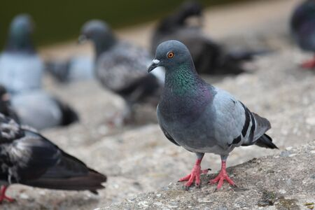 Pigeon,  it lives in NONG PRA JAK public park at UDONTHANI province THAILAND.