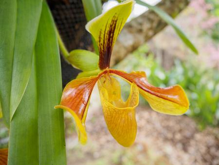 lady's slipper: ladys slipper orchid (Paphiopedilum Callosum)