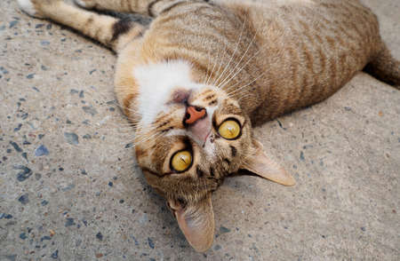 A brown cat lying on a cement floor rolled over to look down at the audience, looking down at the viewer. Stock Photo