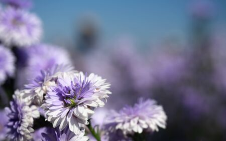 Close up the Purple and White Margaret Fields in Chiang Mai, Thailand 版權商用圖片