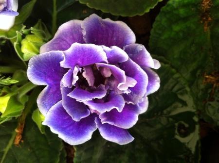 detail: Close up big purple forest flower