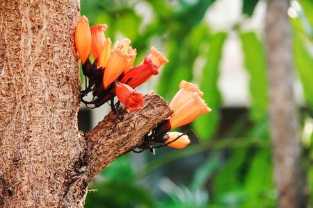 tree jasmine: Tree jasmine blossom the tree