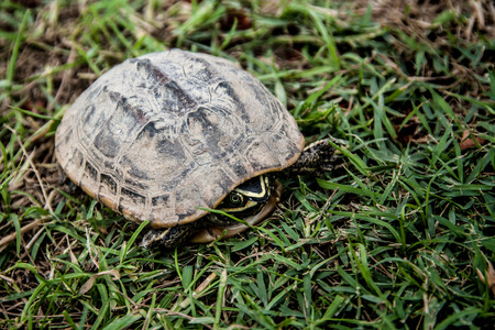 snapping turtle: snap turtle on the green grass