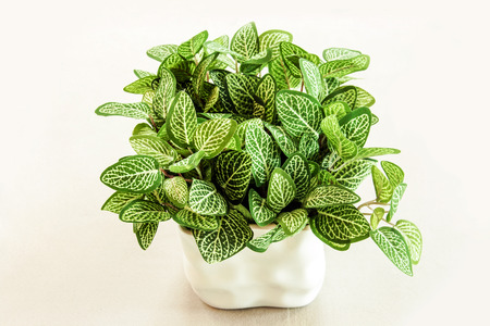 ceremic: close up artificial green leaf bush in white ceramic vase ,isolate  Stock Photo