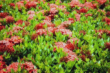 red Ixora flower photo