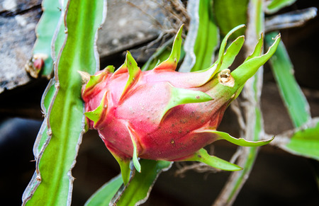 red dragon fruit in the tree photo