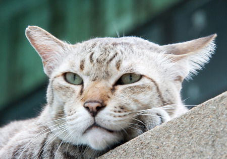 vagrant: close up face of stray cat on the cement wall Stock Photo