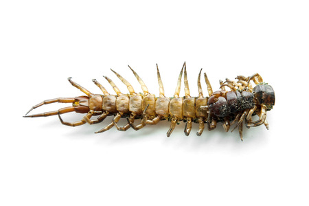close up back side of die centipede Ethmostigmus rubripes isolate photo