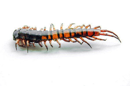 close up tail die centipede Ethmostigmus rubripes isolate photo