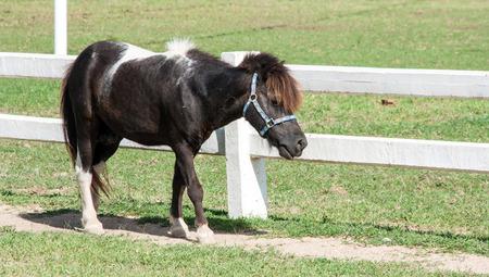 Mini black dwarf horse at a farm photo