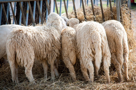 buttom: close up buttom of sheep eating straw at farm Stock Photo
