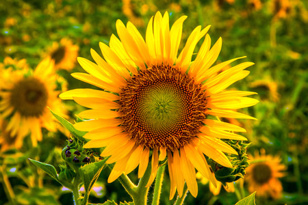 giant sunflower: close up big yellow sunflower on feild in evening time Stock Photo