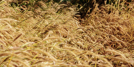 dry grass: dry grass in autumn season landscape short for natural background