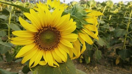 feild: Sunflower at garden
