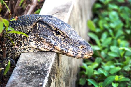 salvator: close up head Varanus salvator on natural field park